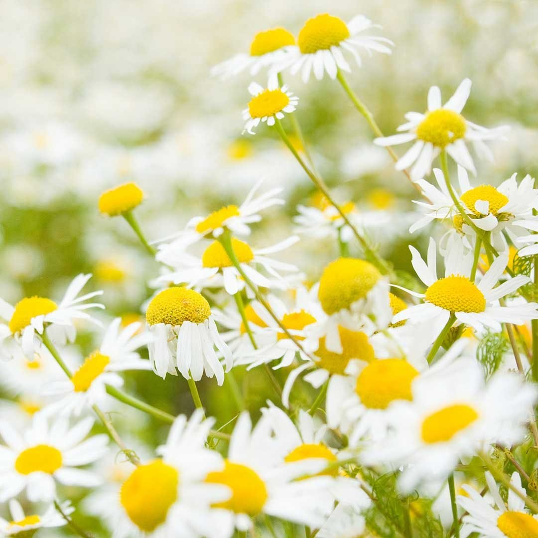 Chamomile-Cleansing-Oil-Ingred
